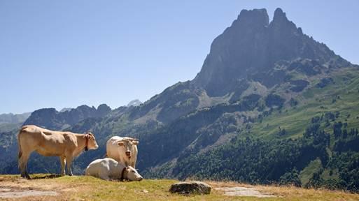 File:Bovins estive Pic du Midi Ossau.jpg